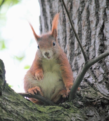 Zittende eekhoorn in boom